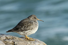 A beautiful winter visiting Purple Sandpiper, Calidris maritima, sitting on a rock at high tide, along the shoreline. Royalty Free Stock Photo