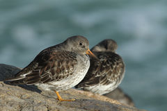 A beautiful winter visiting Purple Sandpiper, Calidris maritima, sitting on a rock at high tide, along the shoreline. Royalty Free Stock Image