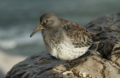 A beautiful winter visiting Purple Sandpiper, Calidris maritima, sitting on a rock at high tide, along the shoreline. Royalty Free Stock Images