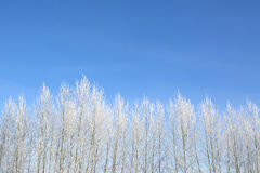 Beautiful winter white snowy with snow on tree branches Royalty Free Stock Photography