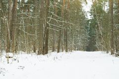 Pathway among trees covered with snow in the forest. Stock Photo