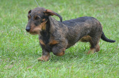Beautiful Wire Haired Dachshund Dog. Really cute wire haired dachshund dog on a leash Royalty Free Stock Photos