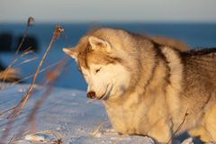 Beautiful, wise and free siberian Husky dog standing on the hill in the withered grass at sunset on sea background royalty free stock image