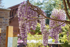 Beautiful Wisteria blossom at Descanso Garden Stock Photos