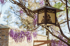 Beautiful Wisteria blossom at Descanso Garden Stock Photo