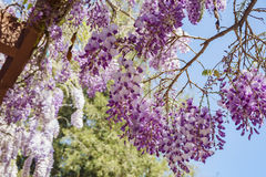 Beautiful Wisteria blossom at Descanso Garden Royalty Free Stock Photo