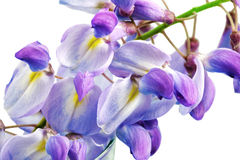 Beautiful Wisteria flowers isolated.On white background Royalty Free Stock Image