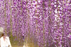 Beautiful Wisteria Hanging Garden in Japan in Spring royalty free stock photo