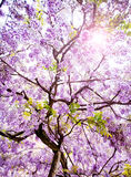 Beautiful Wisteria Tree. Spring purple flower stock photo