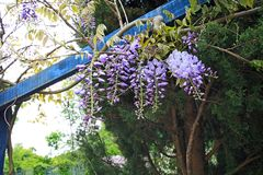 Beautiful wisteria Royalty Free Stock Images