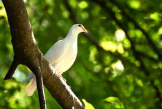 Beautiful wite pigeon on branch Royalty Free Stock Photo
