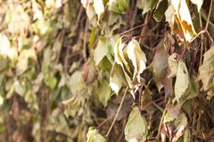 Beautiful withered branch of wild grapes Stock Images