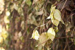 Beautiful withered branch of wild grapes Royalty Free Stock Photos