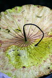 Beautiful Withered lotus leaf Stock Images