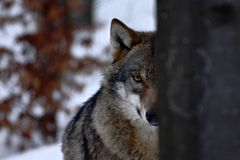 Beautiful wolf canis lupus in winter, wolf in snowy landscape, attractive winter scene with wolf, beautiful winter landscape. Wolf in forest, winter scenery stock photos