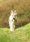 Beautiful wolf dog puppy in nature Stock Photo