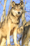 Beautiful wolf portrait. With blue sky in background Royalty Free Stock Photo