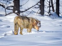 Beautiful wolf turns toward camera royalty free stock image