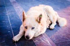 Beautiful Wolfhound Street Dog Stock Images