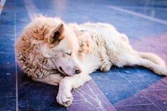 Beautiful Wolfhound Street Dog Royalty Free Stock Photo