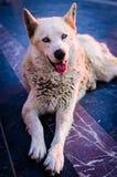 Beautiful Wolfhound Street Dog Royalty Free Stock Photography