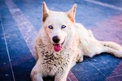 Beautiful Wolfhound Street Dog Stock Photography