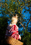 Beautiful woman with basket in the garden. Beautiful blonde picking apple in the garden Royalty Free Stock Image