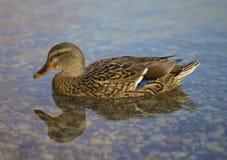 Beautiful Woman Duck Stock Photography
