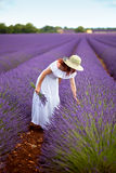 Beautiful woman in field of lavender. Provence, France. Beautiful female in field of lavender, wearing romantic white dress and hat, picking lavender. Holding a stock photo