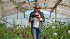 Beautiful woman florist walks through the greenhouse with a tablet computer checks the grown roses, keeps track of the. Harvest and check flower for business stock video footage