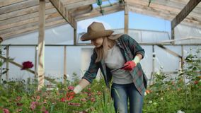 Beautiful woman florist walks through the greenhouse with a tablet computer checks the grown roses, keeps track of the. Harvest and check flower for business stock video
