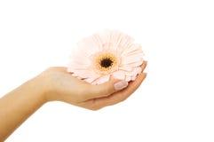 Beautiful woman hand with pink gerbera Royalty Free Stock Photo