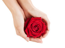 Beautiful woman hands with red rose Royalty Free Stock Photo
