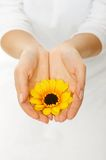 Beautiful woman hands with sunflower Stock Photo