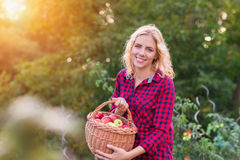 Beautiful woman harvesting apples. Beautiful young woman in red shirt harvesting apples Royalty Free Stock Photos