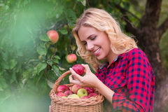 Beautiful woman harvesting apples. Beautiful young woman in red shirt harvesting apples Royalty Free Stock Photo