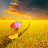 Beautiful woman holding multicolored umbrella in Yellow rice field and sunset Royalty Free Stock Photography
