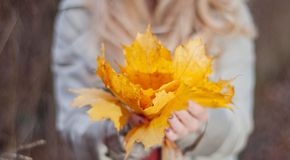 Beautiful woman is holding yellow leaves in autumn fores. T enjoying nature stock photography