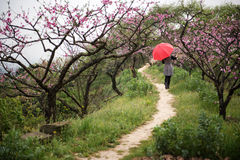 Beautiful woman in peach orchard stock image