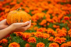 Hand holding small bright pumpkin stock images