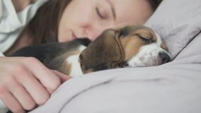 A beautiful woman sleeps in bed with a little puppy beagle.