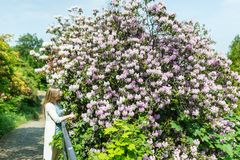 Beautiful woman in a spring garden under a blossoming tree lilac.  royalty free stock photography