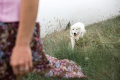 Beautiful women and two white dogs morema go on field in fog royalty free stock photography