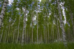 Beautiful and a wonderful birch forest. Birch forest in Sweden that is beautiful to look at but can cause major problems for people who have pollen allergy royalty free stock images
