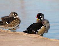 Beautiful Wood Duck Stock Photos