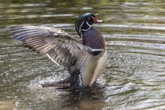 Beautiful Wood Duck flapping its Wings.  Royalty Free Stock Photo
