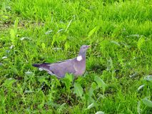 Wood pigeon on green grass, Lithuania Stock Photos