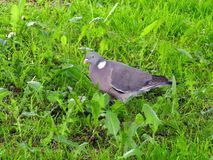 Beautiful wood pigeon on green grass, lithuania royalty free stock photo