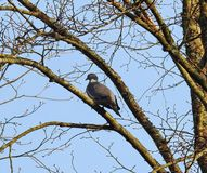 Wood pigeon on old tree stem, Lithuania royalty free stock images