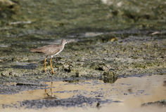Beautiful Wood sandpiper Royalty Free Stock Photography
